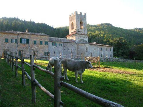 Italy Badia a Coltibuono Cows copy