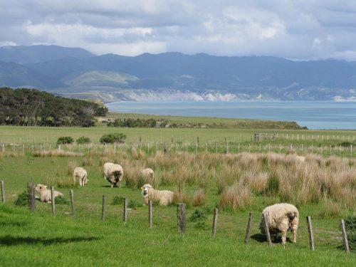 Farm view sheep and Palliser Bay – Version 2